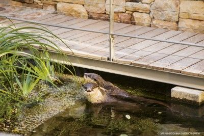 Cape clawless otters often make the natural pool their protected play area.